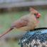 female-cardinal-1332445-1279x959