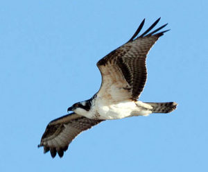 Militia Hill Hawk Watch Wyncote Audubon Society